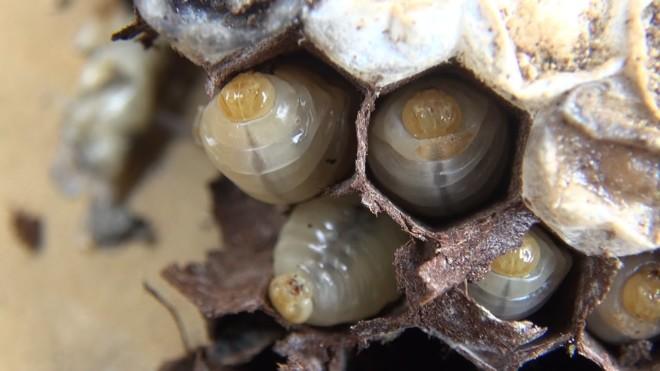 Личинка шершня