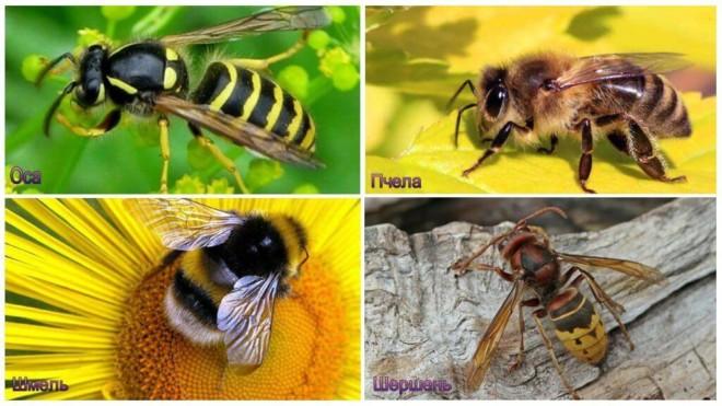 Оса, пчела, шмель и шершень