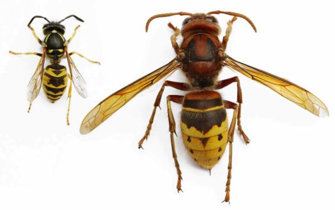 Отличия шершня и осы