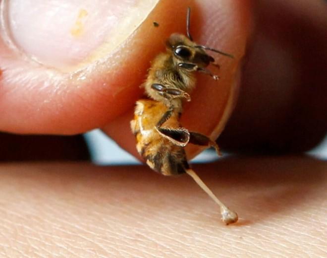 Пчела и жало