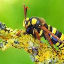 Шершень сибирский — описание, ареал обитания, жизненный цикл, размножение, особенности вида