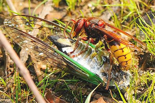 Шершеь нападает на насекомое
