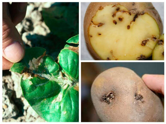 Картошка порожена молью