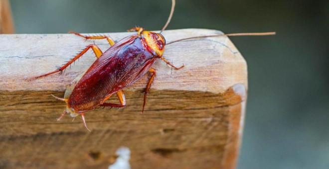 Красный таракан