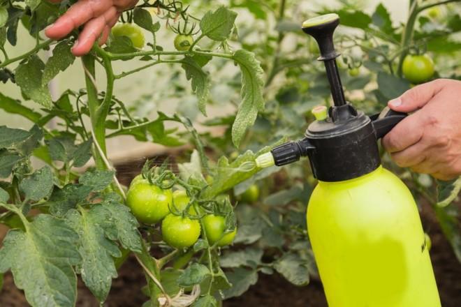 Опрыскивают томаты