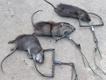 Крысы и капкап