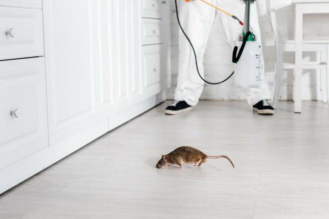Уничтожение крыс специалистом